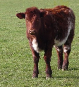 Beef_Shorthorn_calf