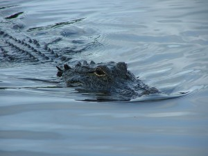 """Nothing to worry about. An alligator bit off my arm. I can still drive.""  (photo courtesy of Jan Kronsell, WikiCommons)"