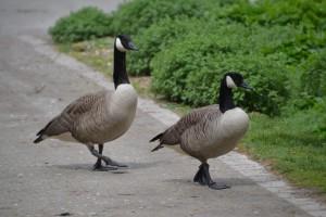 goose-977304_1920